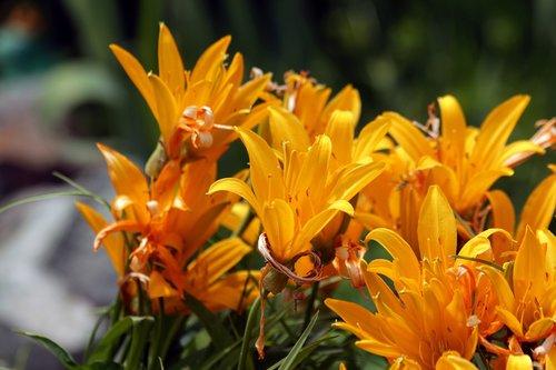 saranki  lily  flowers