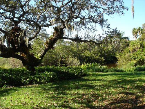 sarasota florida river tree