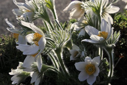 sasanka  spring  fluffy