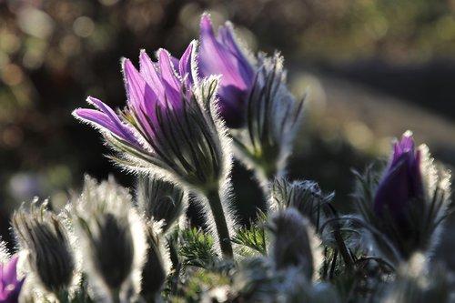 sasanka  spring  nature