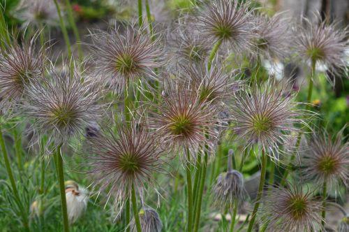 sasanka overblown seed