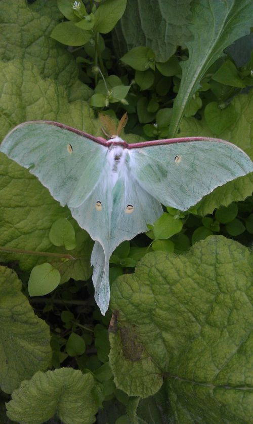 saturnia luna actias luna essential moth
