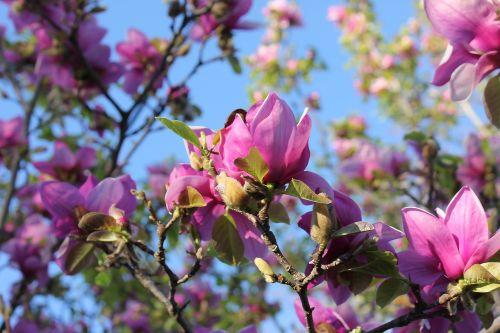 saucer magnolia magnolia tree