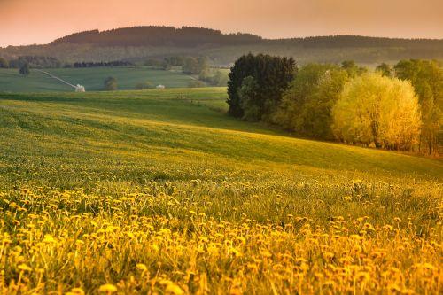 sauerland evening sun dandelion