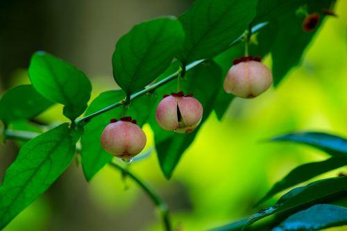 sauropus androgynus katuk sweet leaf