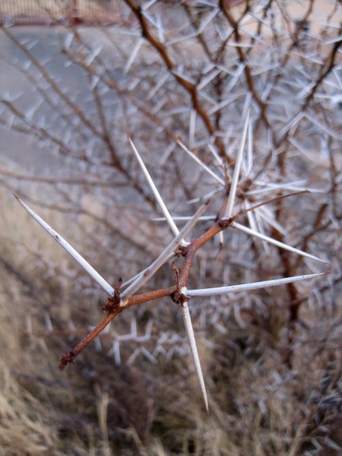 Savage White Thorns