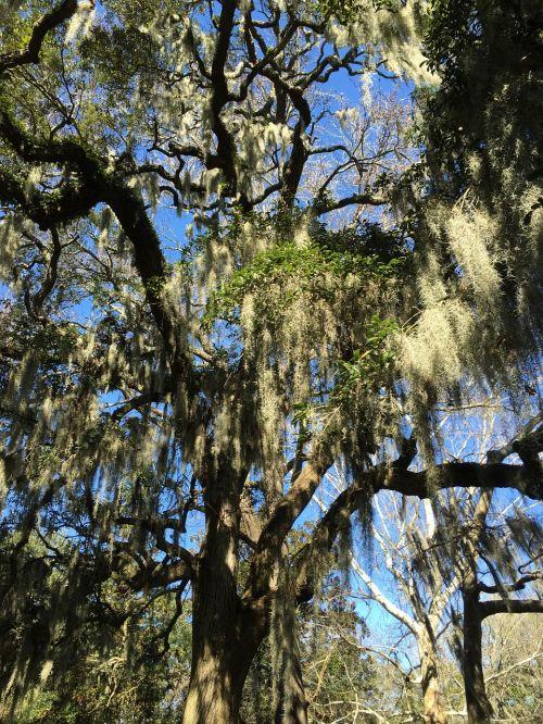 savannah spanish moss tree