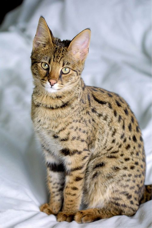 savannah cat hybrid serval