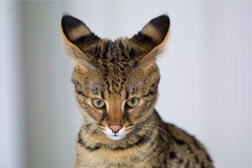 savannah cat closeup feline