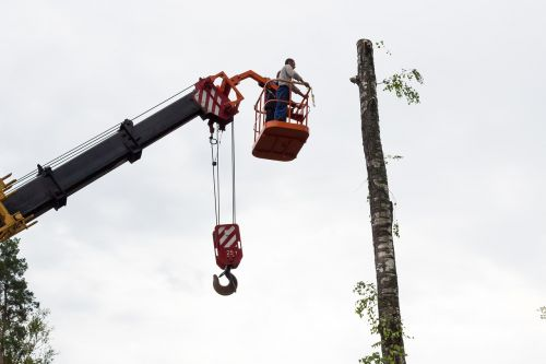 sawing tree birch