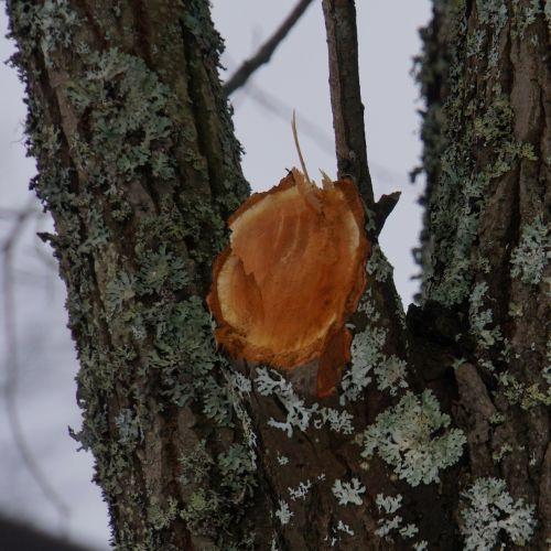 sawn branch branch removal stub