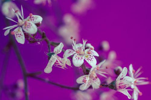 saxifraga cuneifolia keilblättriger saxifrage flowers