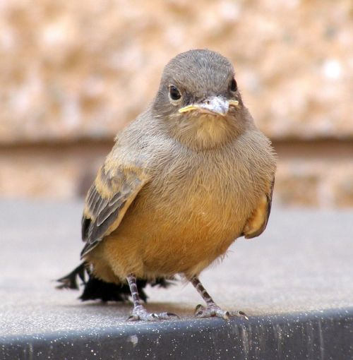 say's phoebe bird looking