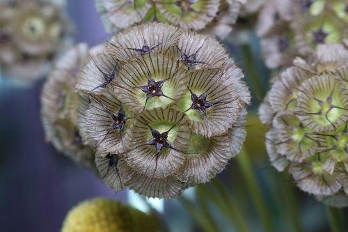 pūslelinė,augalas,botanika