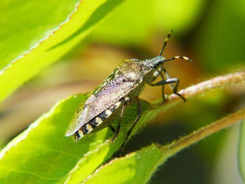 shield bug bug insect