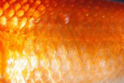 scale fish scales goldfish