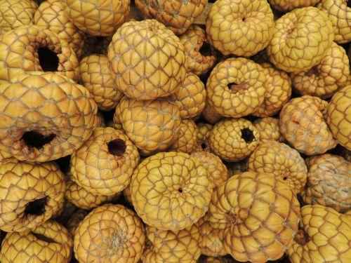 scale nut seeds