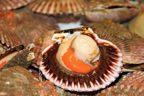 scallop seafood fresh