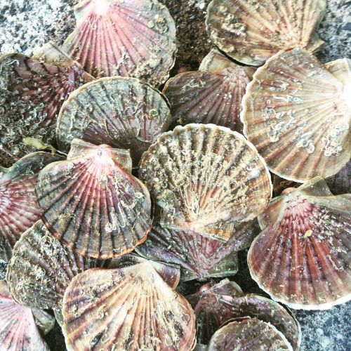 scallop seafood mollusk