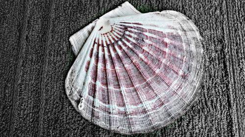 scallop seashell nature