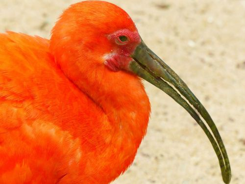 scarlet ibis bird red
