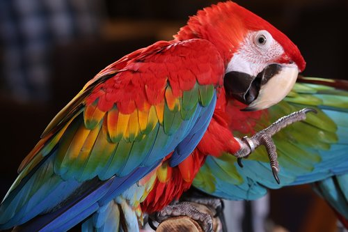 scarlet macaw tropical bird  brazilian rio rainforest  macaw