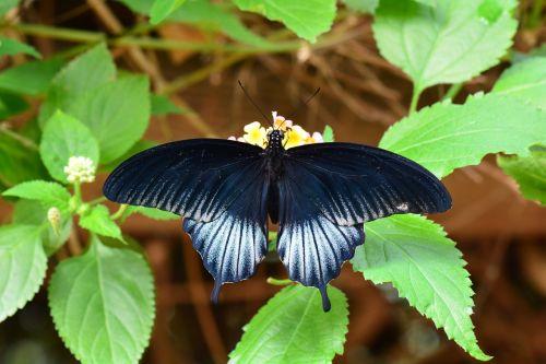 scarlet mormon butterfly wildlife