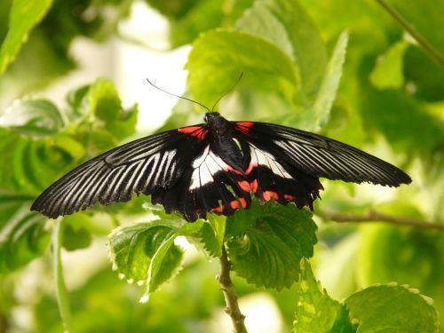 scarlet schwalbenschwanz butterfly papilio rumanzovia