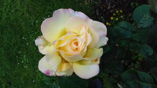 scented  yellow  rose