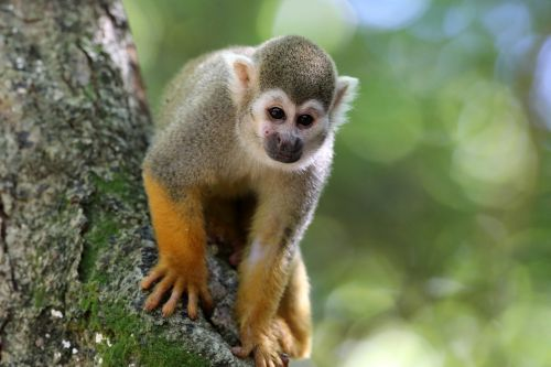 scented monkey primate animal
