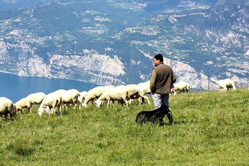 schäfer flock of sheep lake garda italy