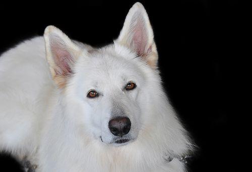 schäfer dog white white shepherd