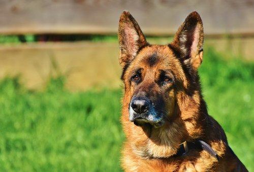 schäfer dog  guard dog  dog