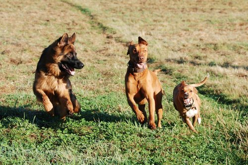 schäfer dog  dog  animal