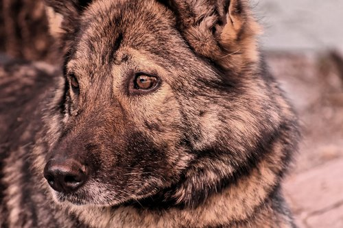 schäfer dog  pet  dog