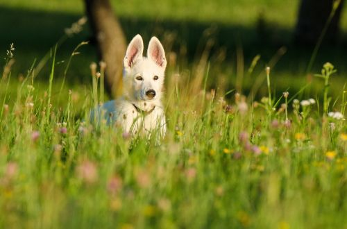 schäfer dog white shepherd puppy