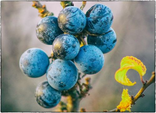 schlehe sloes fruits