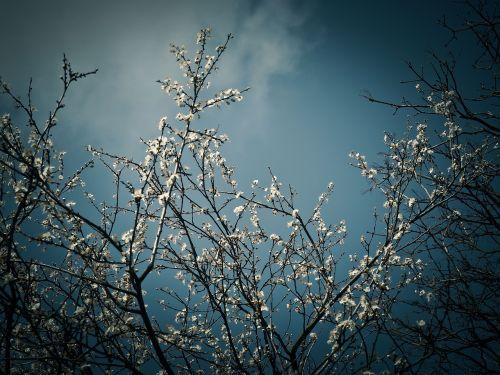 schlehe sloe bush blossom