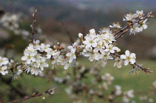 schlehe white flowers