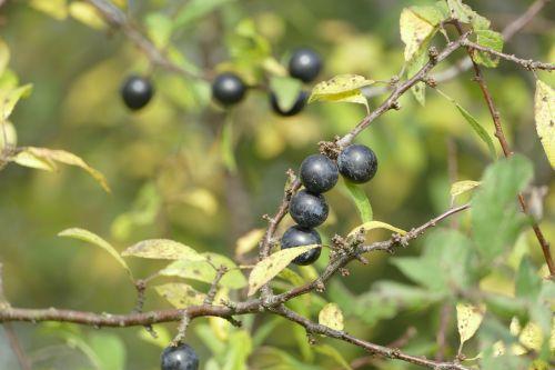 schlehe blackthorn prunus spinosa