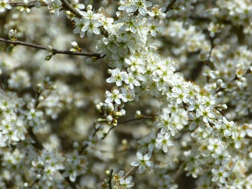 schlehe blackthorn prunus spinosa