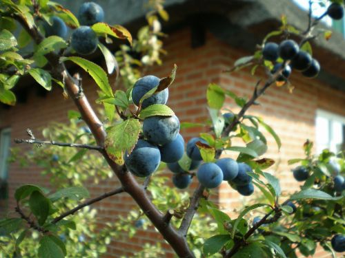 schlehe wild fruit bush
