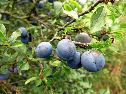 schlehe berry fruits