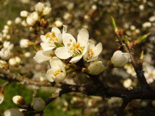schlehe blossom bloom