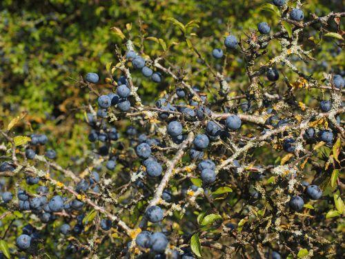 schlehenbeeren schlehe berries