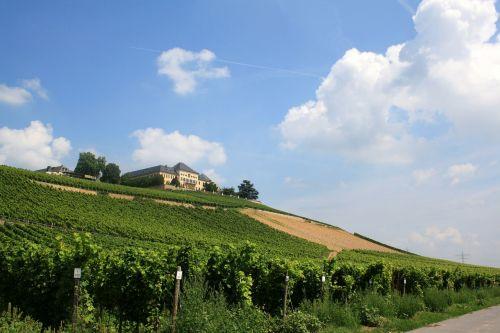 schloss johannisberg vineyard vines