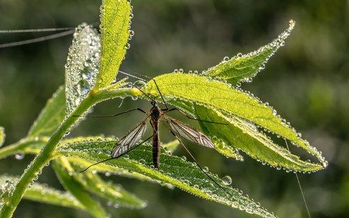 schnake  schneider  insect