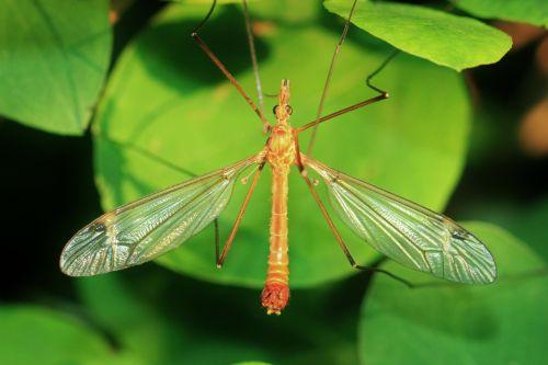 šnikas,schneider,vabzdys,gyvūnai,gyvūnas,vabzdžių makro,gamta,makro,Uždaryti,fauna,makro nuotrauka,gyvūnų pasaulis,vabzdžių sparnas,sparnas,durchsichtug,filigranas,skraidantys gyvūnai,flora,lapai,augalas