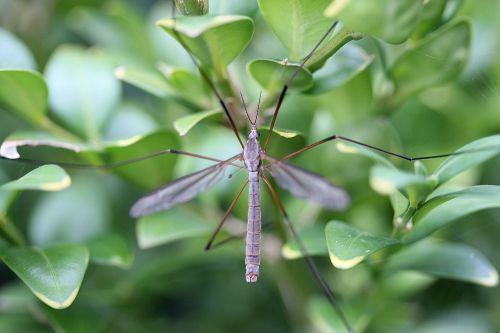 schnake tipulidae fly
