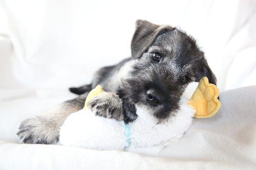 schnauzer  dog  puppy